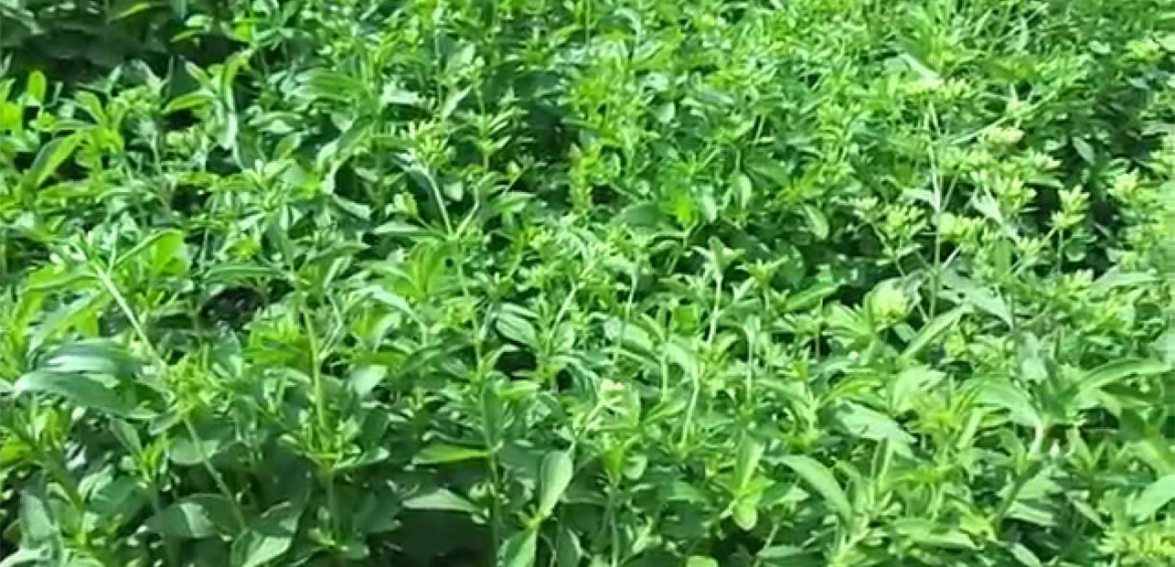 Stevia Cultivation | Stevia Crop in India